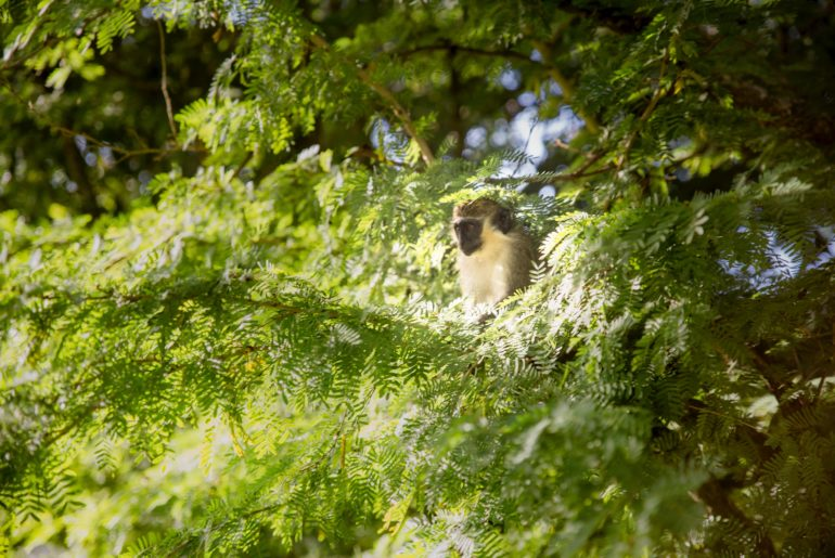 Green monkey in a tree in Barbados